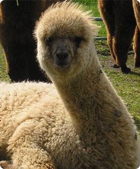 Mayfield Alpacas For Sale