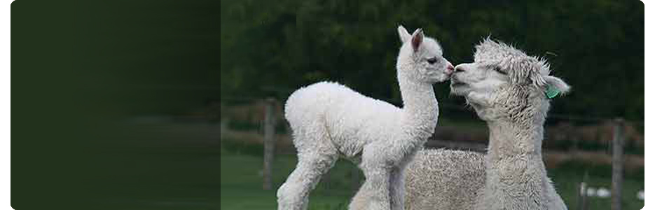 Mayfield Alpacas Visitors Centre