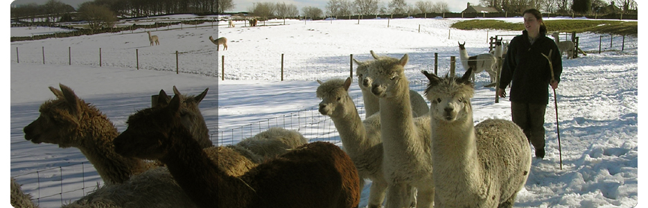 Alpacas Walking in Snow